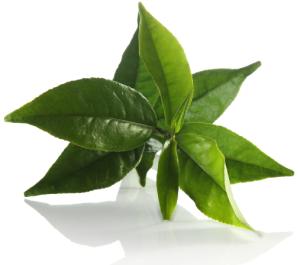 feuill de thé vert