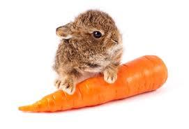 lapin et carottes 2